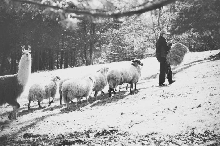 Maria bringing hay to the sheep